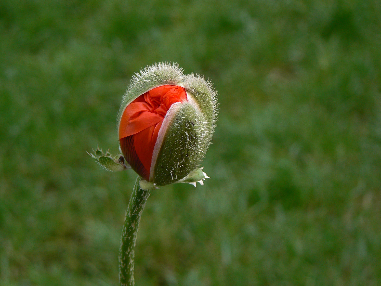Immagine gratuita di bocciolo, bocciolo di fiore, fioritura, flora