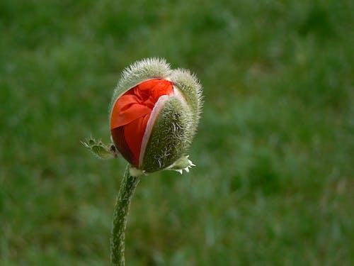 フローラ, マクロ, 工場, 花芽の無料の写真素材