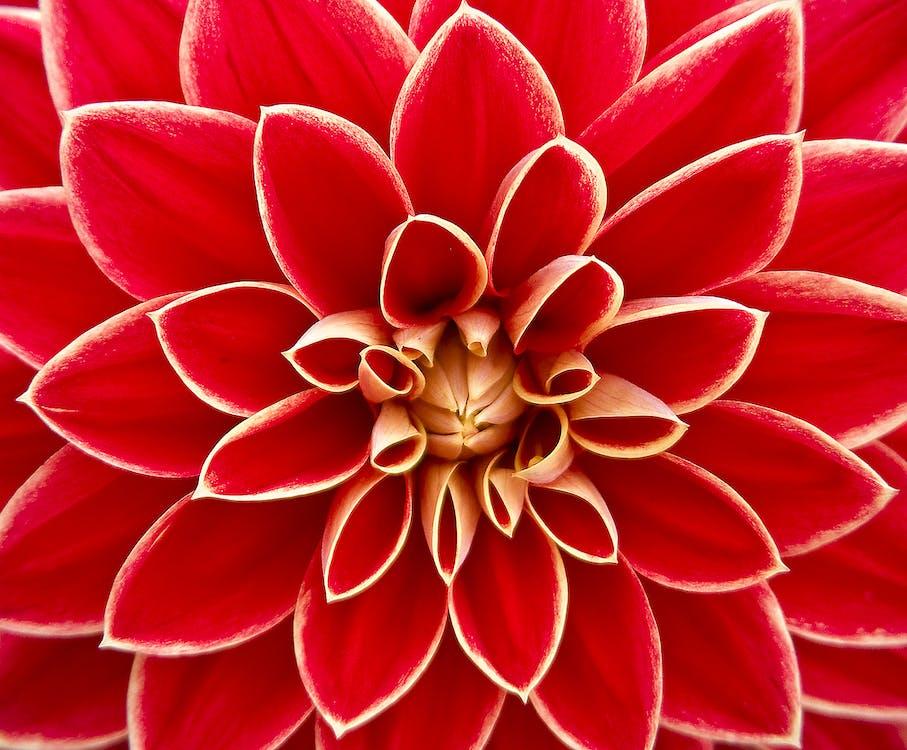 blomst, close-up, dahlia