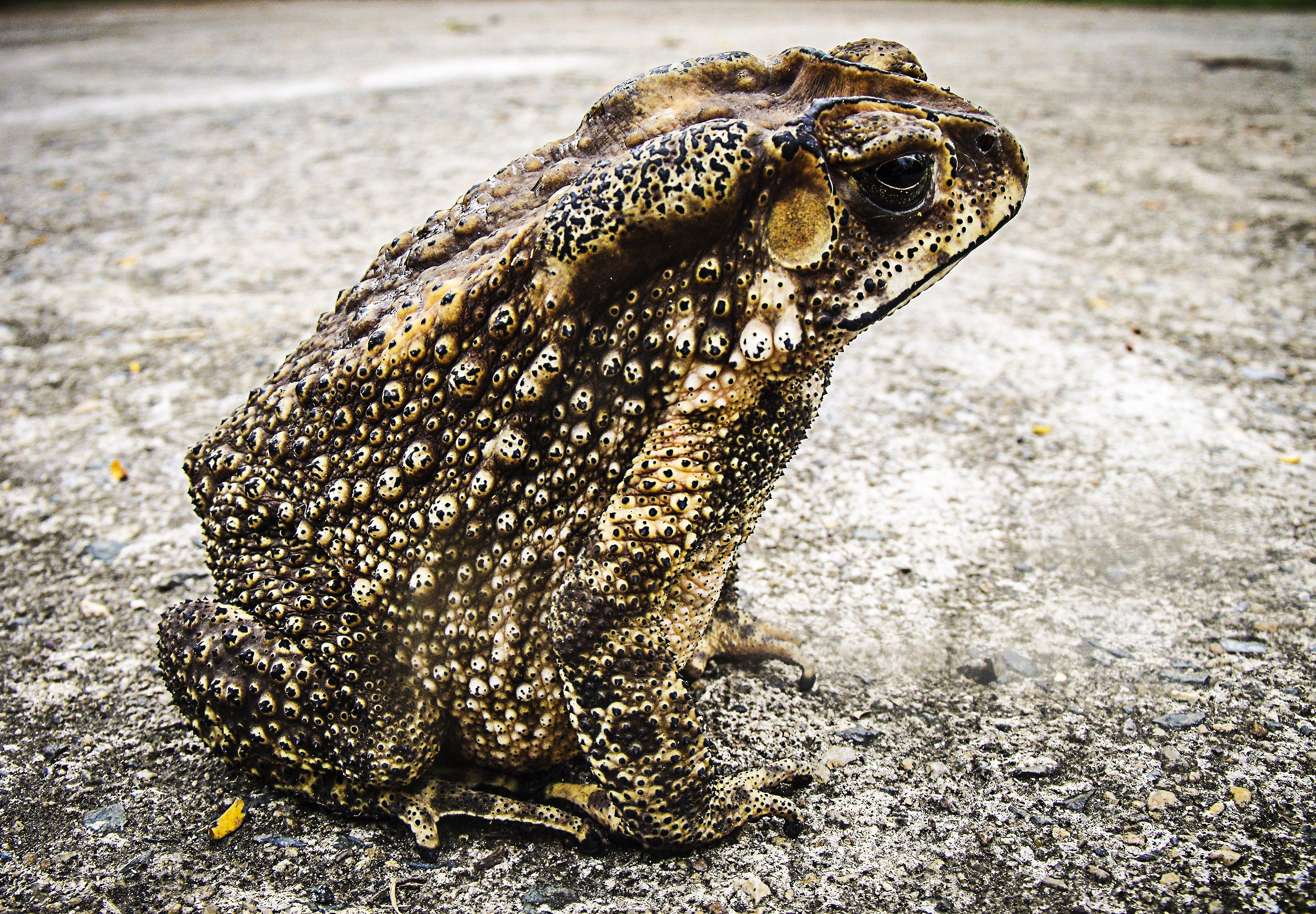 Black and Brown Frog Sitting on White Concrete Floor