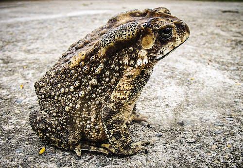 Immagine gratuita di anfibio, animale, rana, rospo