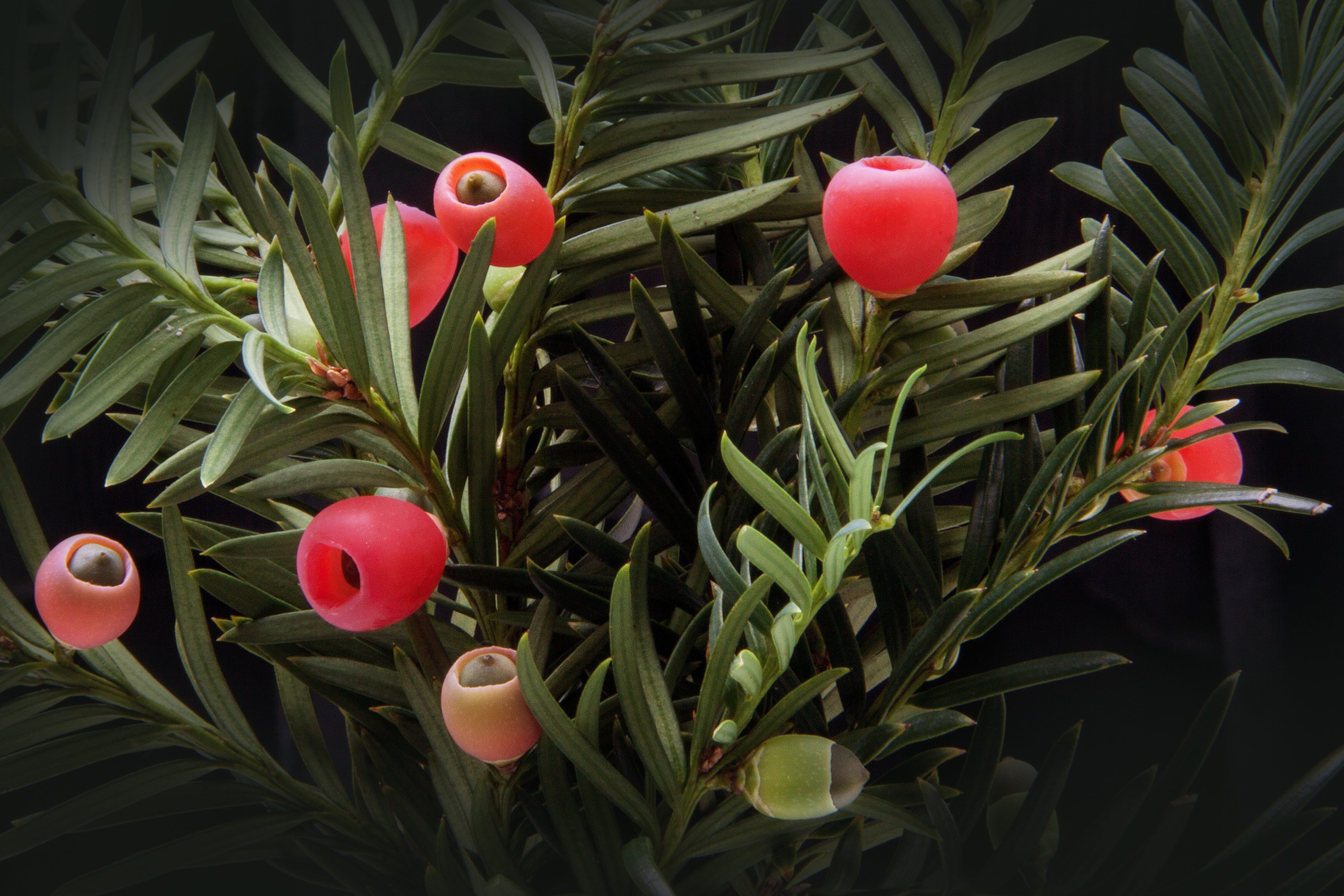 Red Fruit on Green Plants