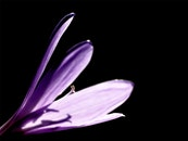 purple, flower, macro