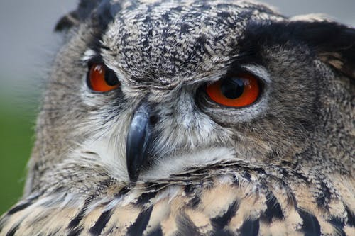 Gratis stockfoto met beest, bob bubo, close-up, detailopname