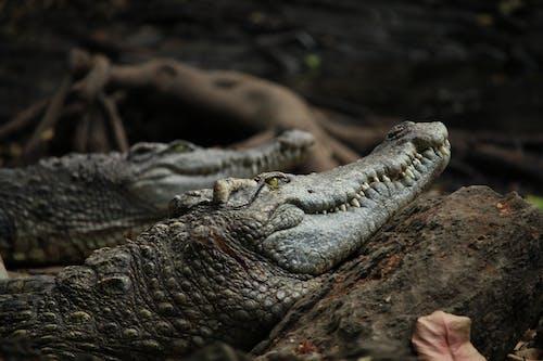 Gratis lagerfoto af alligator, dødelig, dyr, dyreliv