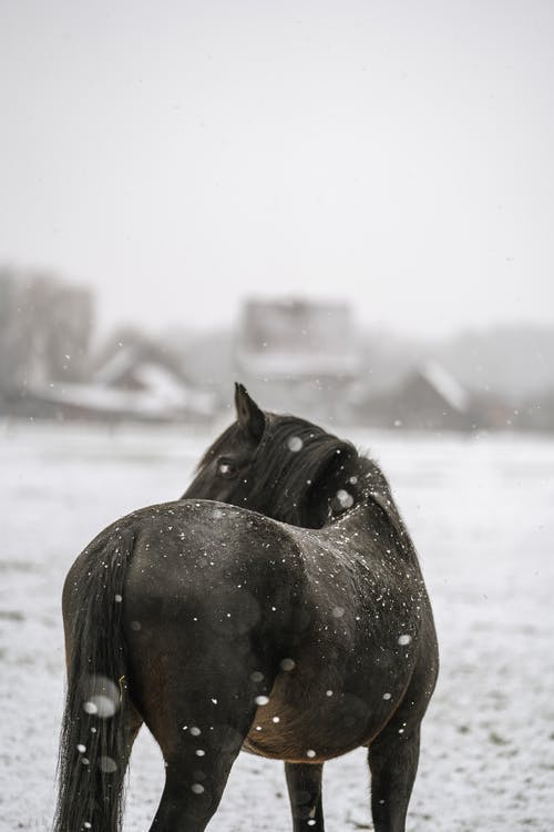 Back view of black mare with mane pasturing in snowy meadow in winter village