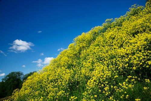 Ilmainen kuvapankkikuva tunnisteilla keltainen, keltaiset kukat, kenttä