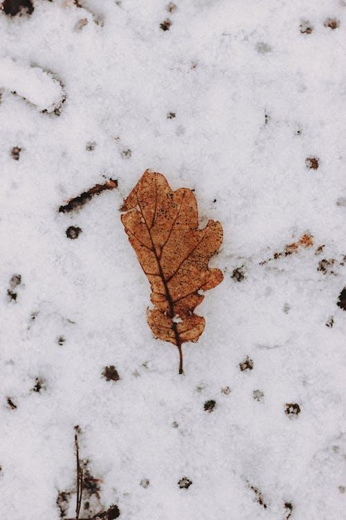 Dry oak leaf on snowy land in winter