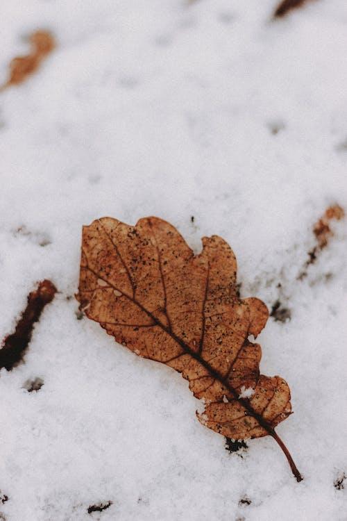 Dry oak leaf on snowy terrain in wintertime