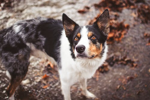Black White and Brown Short Coat Dog