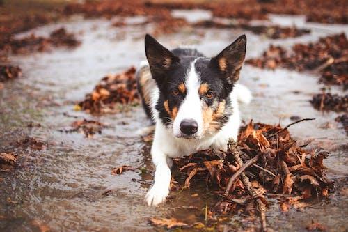 Free stock photo of animal, blue merle, border collie, canine