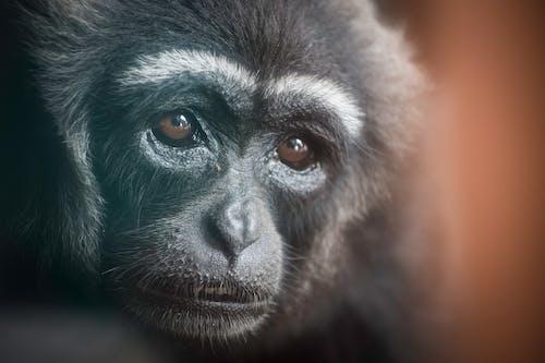 Close Up Photo of an Infant Chimpanzee