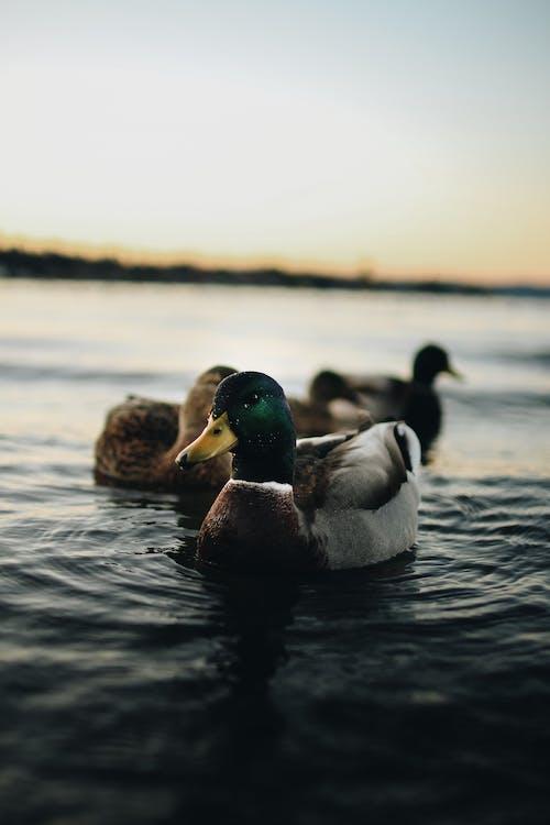 Depth of Field Photography of Mallard Duck on Body of Water