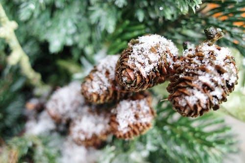 Immagine gratuita di coni, cono, conservatorio, inverno