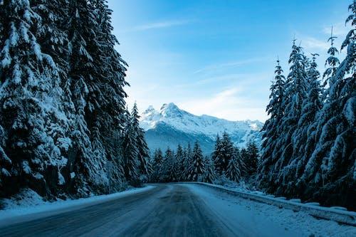 カスケード山脈, コールド, モミの木の無料の写真素材
