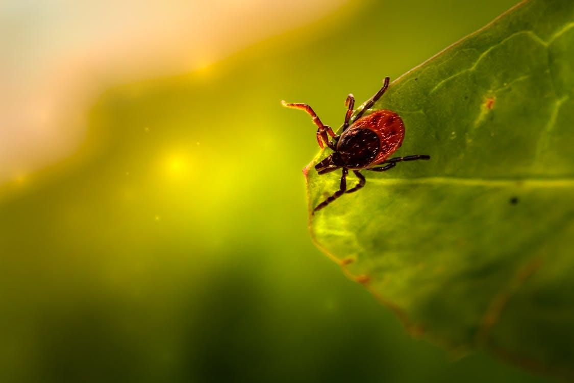 Бесплатное стоковое фото с beetle, ixodes ricinus, ан lichtbak toevoegen 리스
