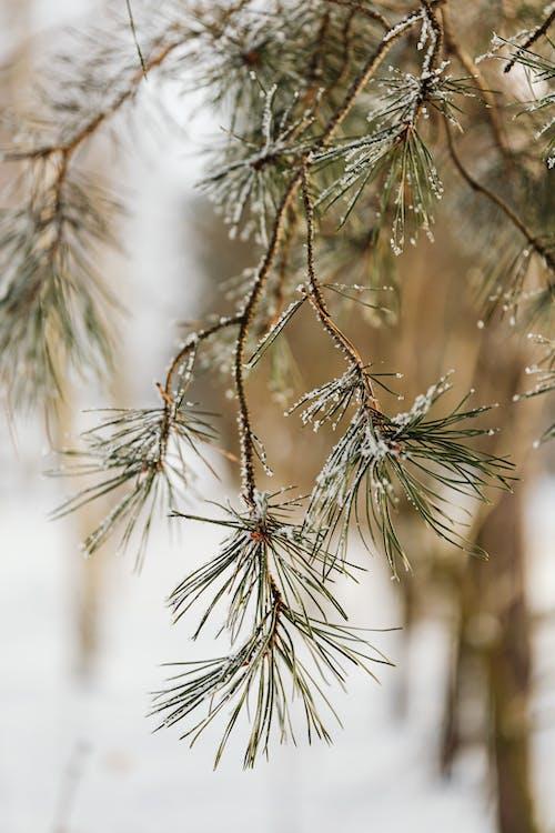 Imagine de stoc gratuită din ac, anotimp, arbore, arbori veșnic verzi