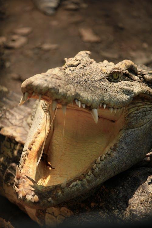 Gratis lagerfoto af alligator, bange, dødelig, dyr