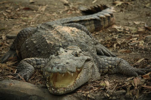 Gratis lagerfoto af aggressiv disposition, alligator, dødelig, dyr