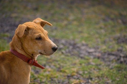 Free stock photo of baby dog, brown dog, dog