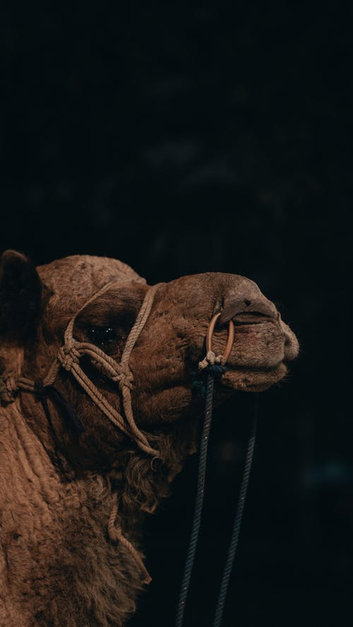 Camel with reins at night on black background