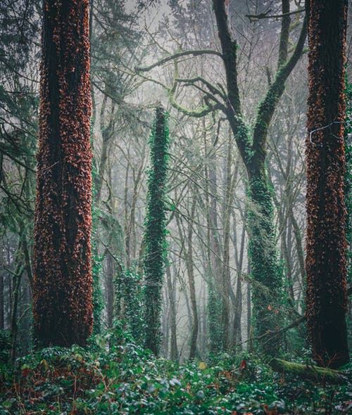 Picturesque scenery of tall trees with trunks covered with ivy leaves in misty forest on cloudy day