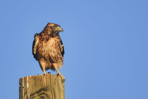 From below of attentive red tailed hawk sitting on tree trunk and observing territory against cloudless blue sky on sunny day