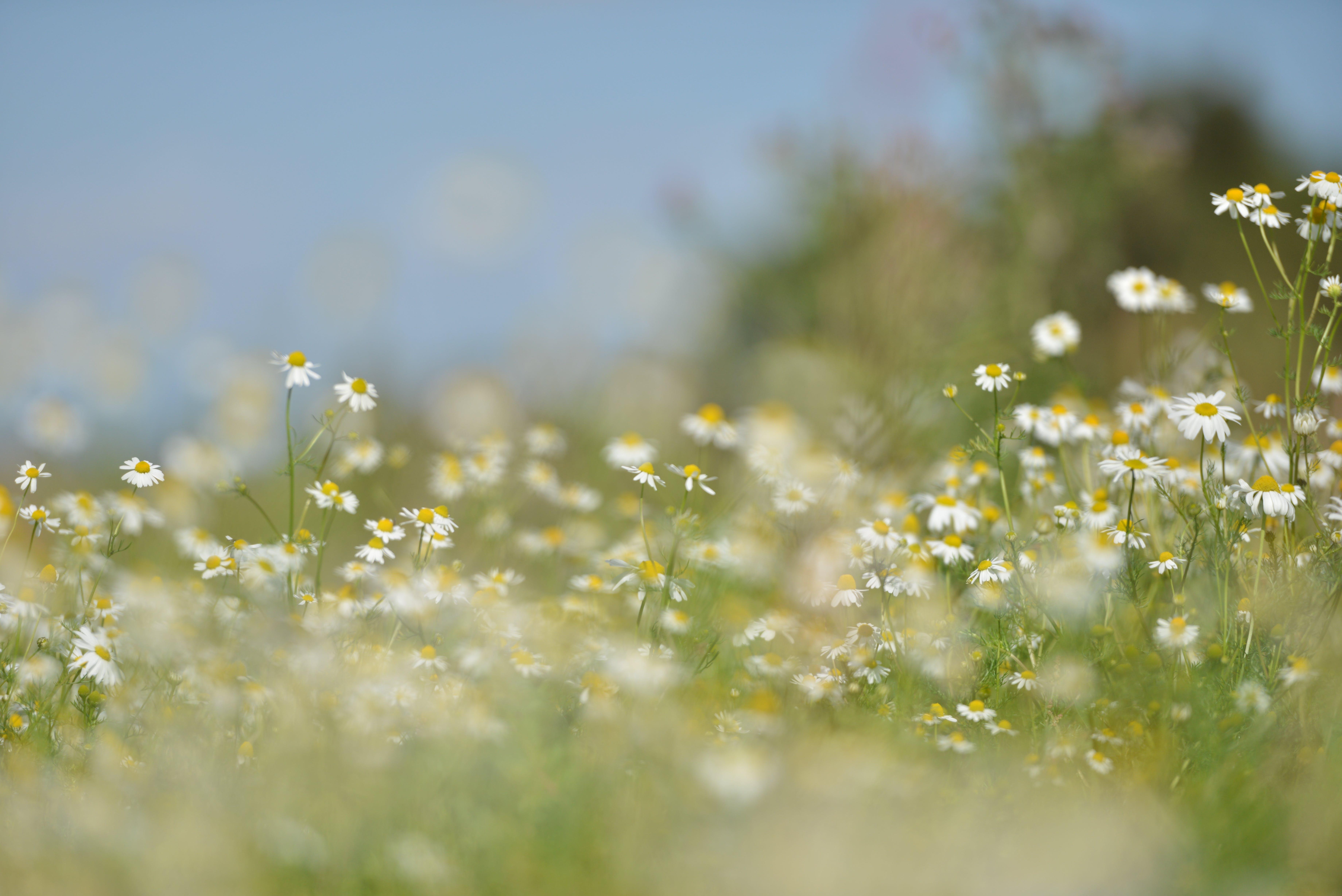 daisies, field, flora