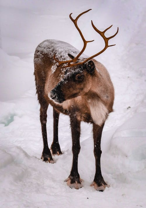 European forest reindeer standing on snowy pasture