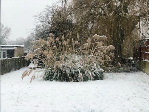Безкоштовне стокове фото на тему «pampas трава, зима, Лондон, сад»