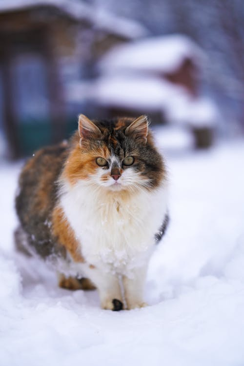 White Brown and Black Cat on Snow Covered Ground