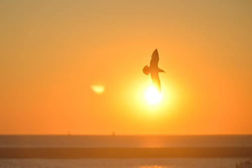 Silhouette of Flying Bird during Sunset