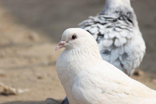 Free stock photo of closeup, pigeon