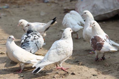 Free stock photo of birds, pigeon, white