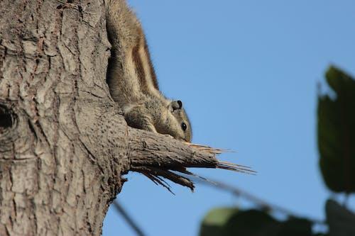Free stock photo of squirrel, treee