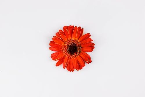 オレンジ, お祝い, カラフル, デイジーの無料の写真素材