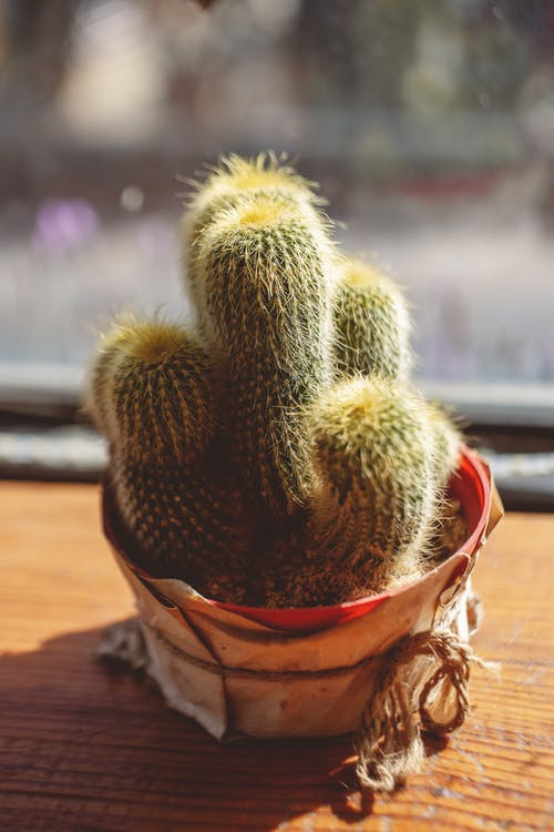 Green Cactus in Brown Pot on Window Sill