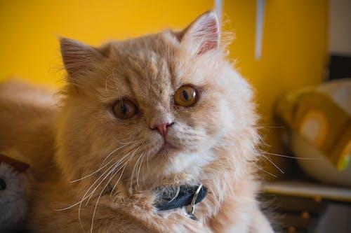 Fotos de stock gratuitas de cara de gato, gato