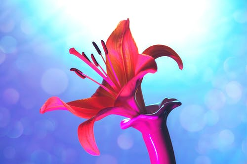 Closeup of colorful Lilly burgeon with gentle red pink petals on blue background with bokeh effect