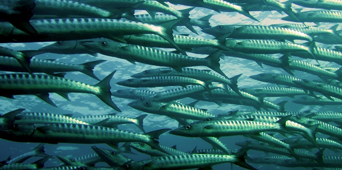 Gray and Silver School of Fish Underwater Photography