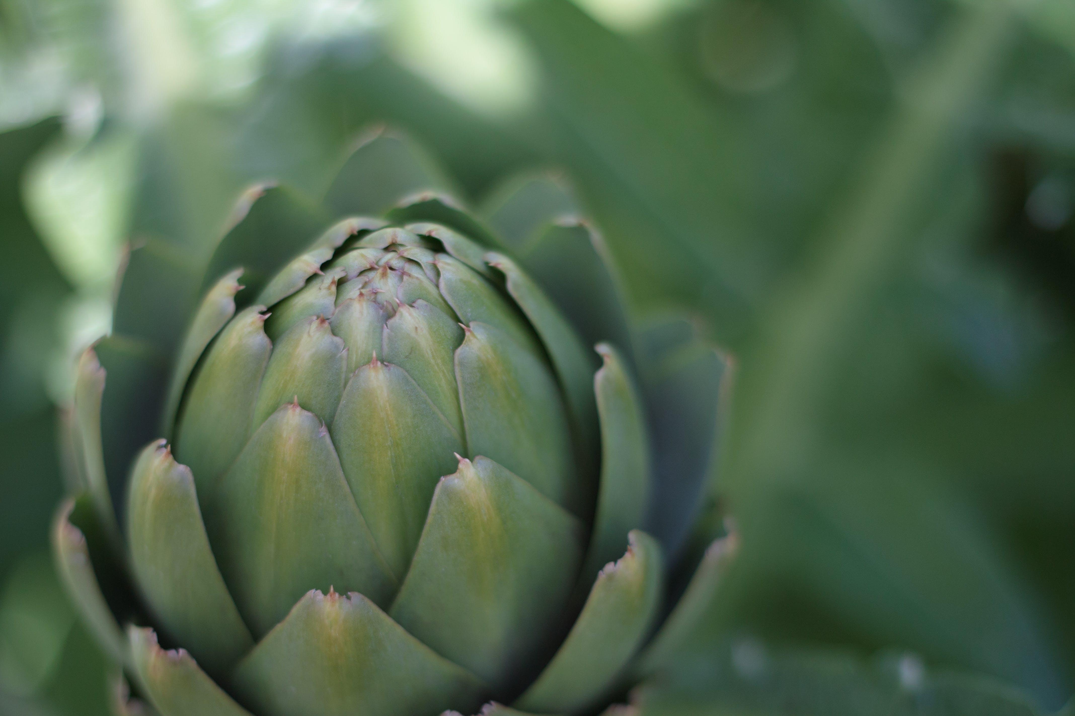 Kostenloses Stock Foto zu grün, knospe, nahansicht, nahaufnahme