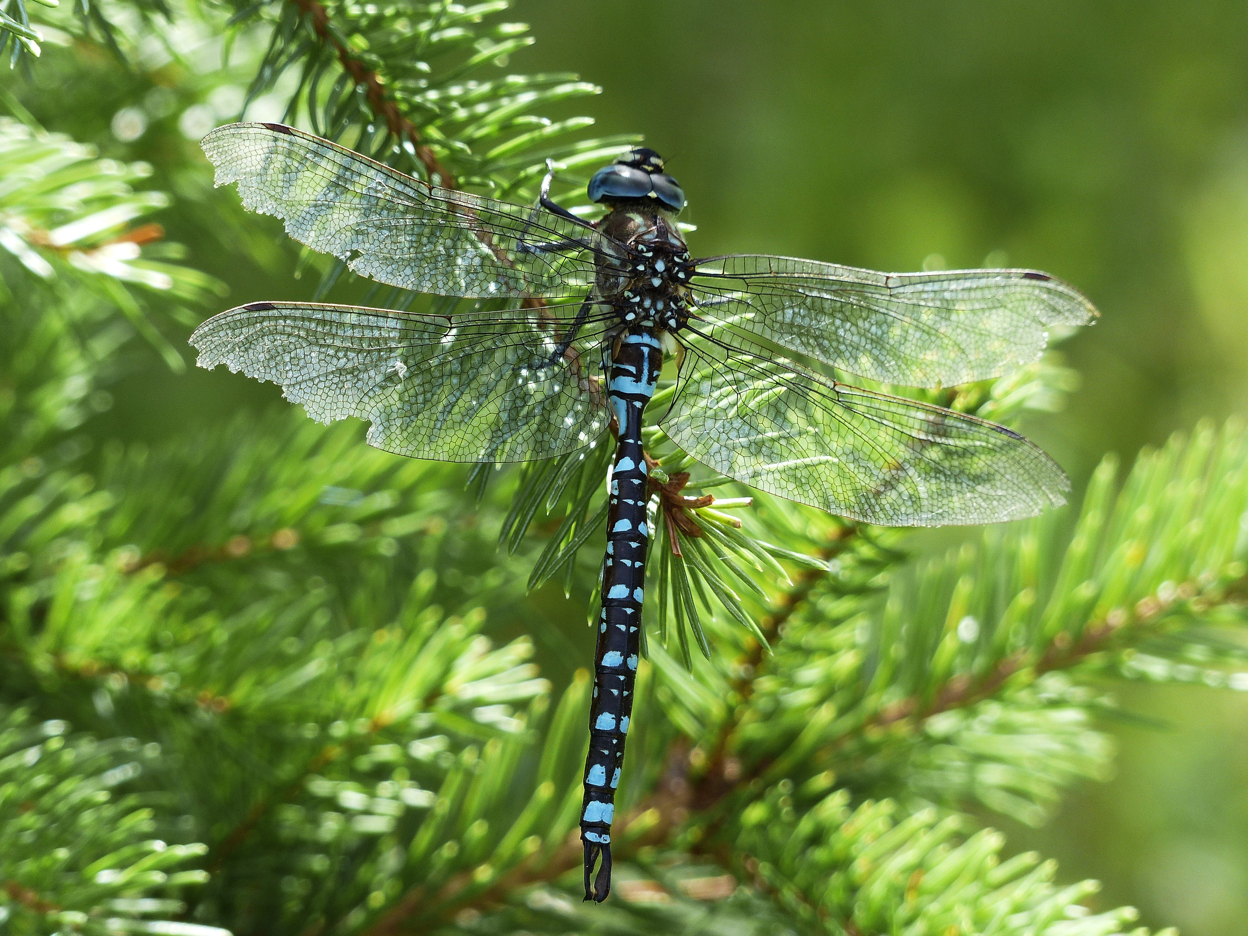 Black Blue and White Dragonfly