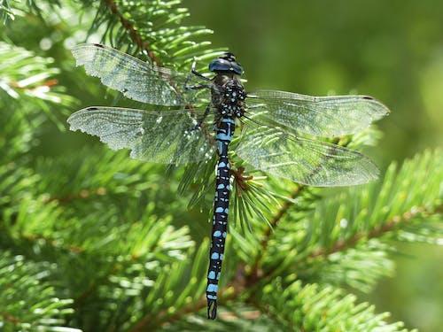 คลังภาพถ่ายฟรี ของ ธรรมชาติ, แมลง, แมลงปอ, แมโคร