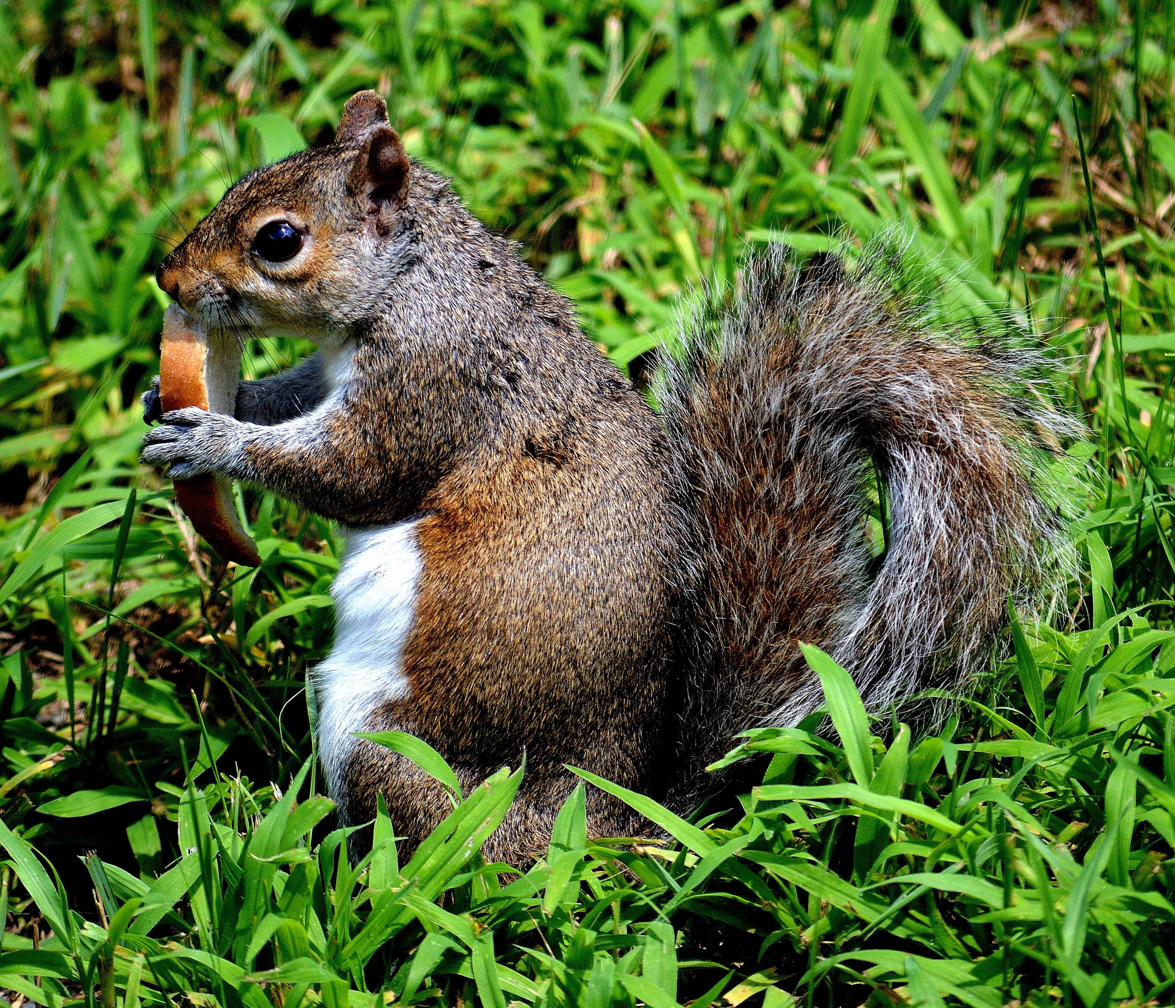 Kostenloses Stock Foto zu eichhörnchen, essen, gras, natur