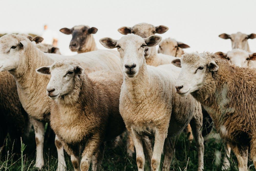 Flock of sheep standing on grassland. | Photo: Pexels