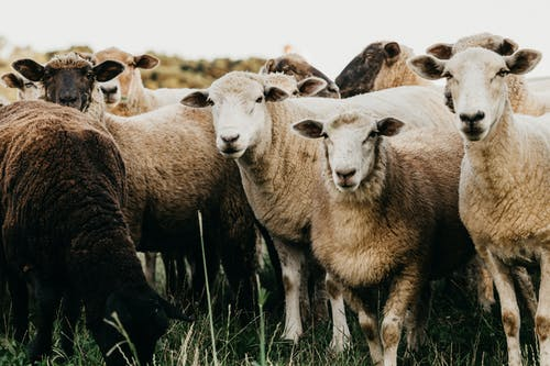 Cute sheep grazing on verdant pasture
