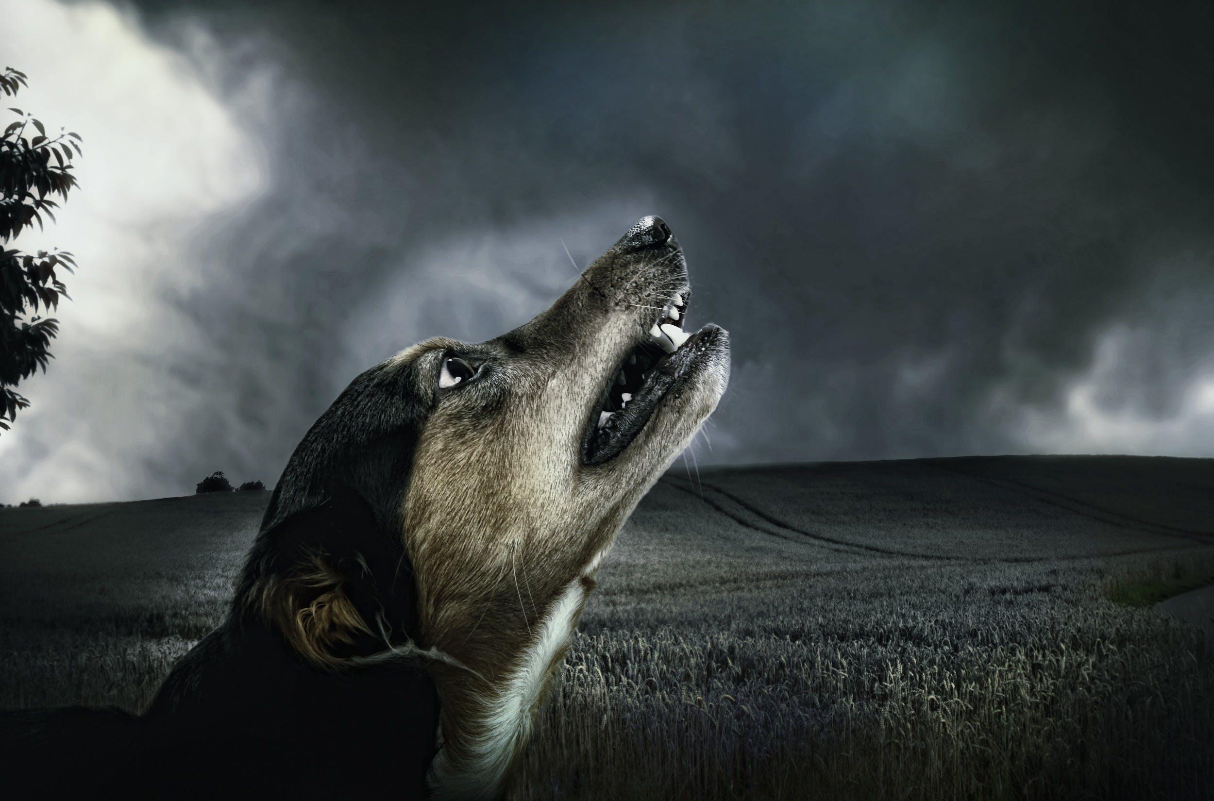 Black and Beige Short Coat Dog Head Photo