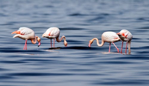 Pink Flamingos on Water