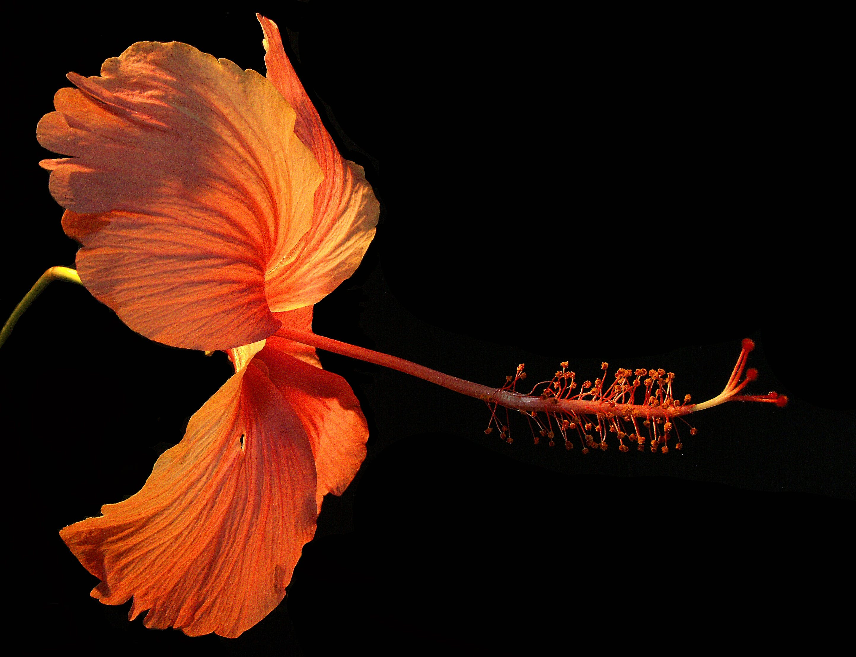 Orange Hibiscus Flower on Black Background