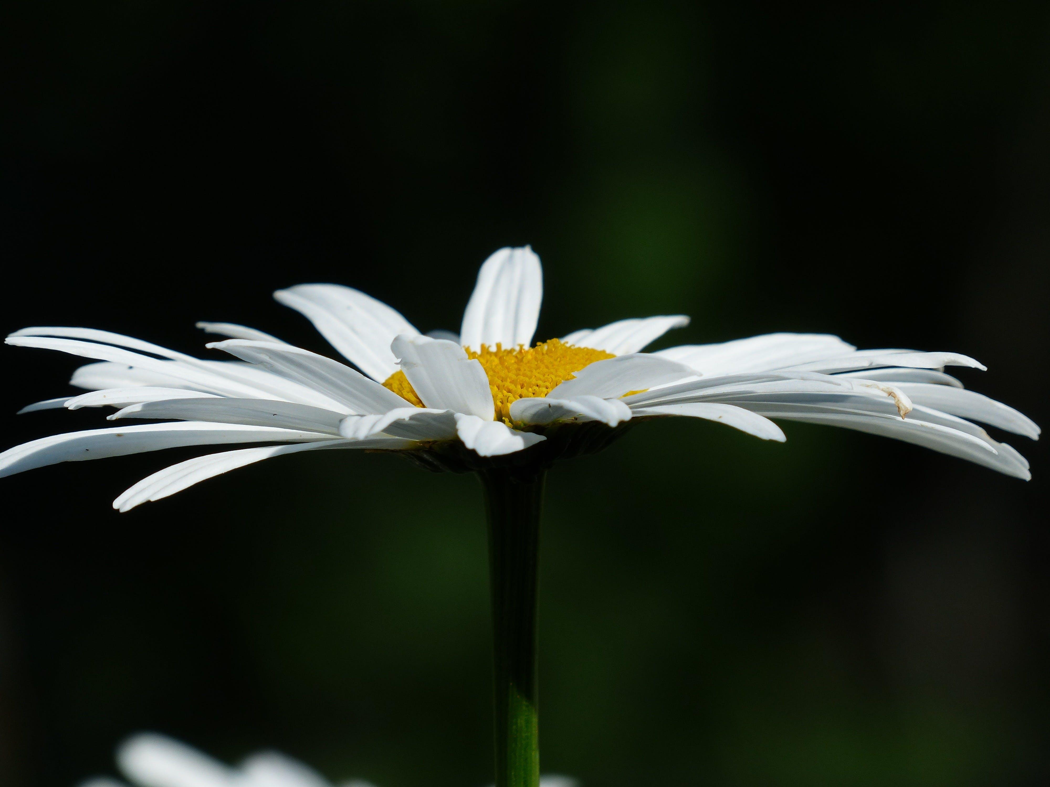 White Daisy Close Up Photo